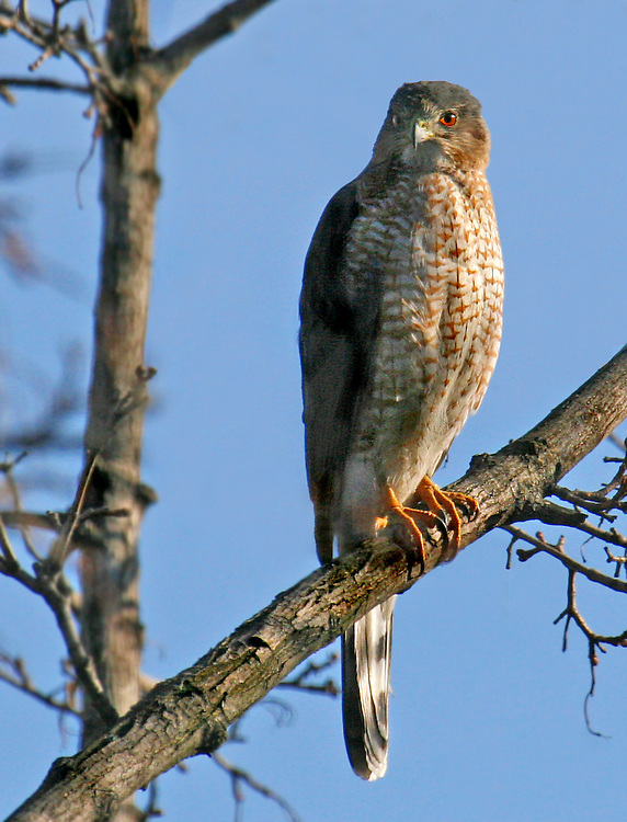 Snuck this one in. It's not from the park, which is two blocks away from me. It's taken from my rear window, and likely shows the same  Cooper's Hawk that killed the pigeon. It came back to this location almost for a year in 2006. It made the kill near a bird feeder.