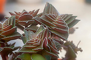 Compact form of Crassula capitella(Buddha's Temple) is a perennial succulent plant native to southern Africa. Photographed in Israel in January