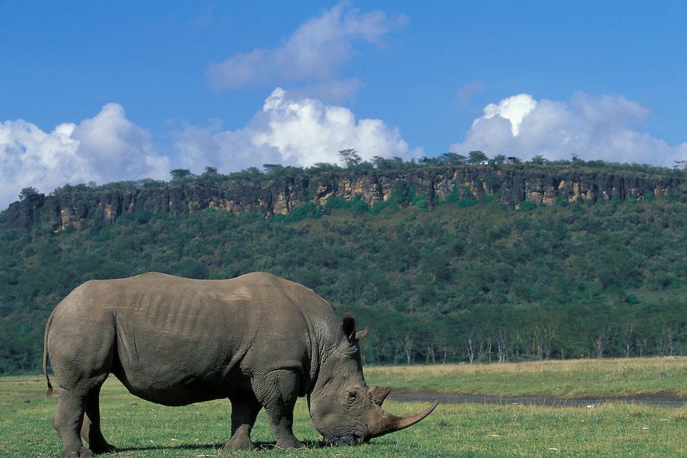 Africa, Kenya, Lake Nakuru National Park, White Rhinoceros (Cerototherium simun) feeding along Lake Nakuru in early morning