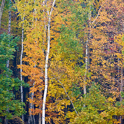 Fall colors in the forest in the Quabbin Reservoir Reservation in Ware, Massachusetts.