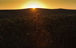 The dry remains of the flower heads of aster wildflowers light up during a fall sunset at the Tallgrass Prairie National Preserve. The 10,894-acre Tallgrass Prairie National Preserve is located in the Flint Hills of Kansas in Chase County near the towns of Strong City and Cottonwood Falls. Less than four percent of the original 140 million acres of tallgrass prairie remains in North America. Most of the remaining tallgrass prairie is in the Flint Hills in Kansas. Tallgrass Prairie National Preserve is the only unit of the National Park Service dedicated to the preservation of the tallgrass prairie ecosystem. The Tallgrass Prairie National Preserve is co-managed with The Nature Conservancy.