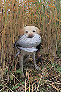 A Yellow Labrador Retriever brings back a drake Canvasback during a Manitoba hunt.