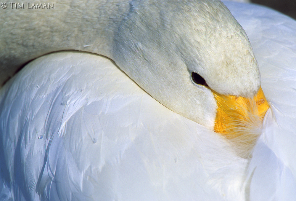 A close-up of a whooper swan (Cygnus cygnus) beack tucked into his back.