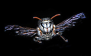 Bald Faced Hornet. (Dolichovespula maculata), Courtenay, British Columbia, Canada, Photographer - Isobel Springett
