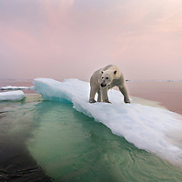 Canada, Manitoba, Churchill, Polar Bear (Ursus maritimus) standing on top of iceberg in Hudson Bay on summer evening