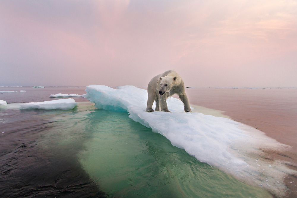 Canada, Manitoba, Churchill, Polar Bear (Ursus maritimus) standing on top of iceberg in Hudson Bay on summer evening