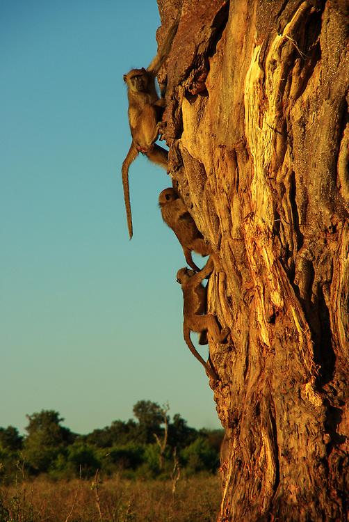 Baboons climb a tree in Chobe National Park, Botswana