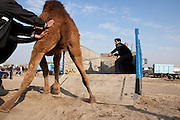 Men coax a dromedary camel into a truck in Ashgabat's Tolkuchka Bazaar. The beasts sell for between $500 and $1000 and are prized in Turkmenistan for their wool, milk and meat, which is low in fat and thus often dry, but tastes a bit like beef.