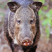 Javelina walks down a ranch road in South Texas.
