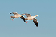 Snow Geese, Chen caerulescens, adult & juvenile, Bosque del Apache NWR, New Mexico