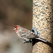 A male House Finch, Carpodacus mexicanus,at a tube feeder. Franklin Lakes, New Jersey, USA