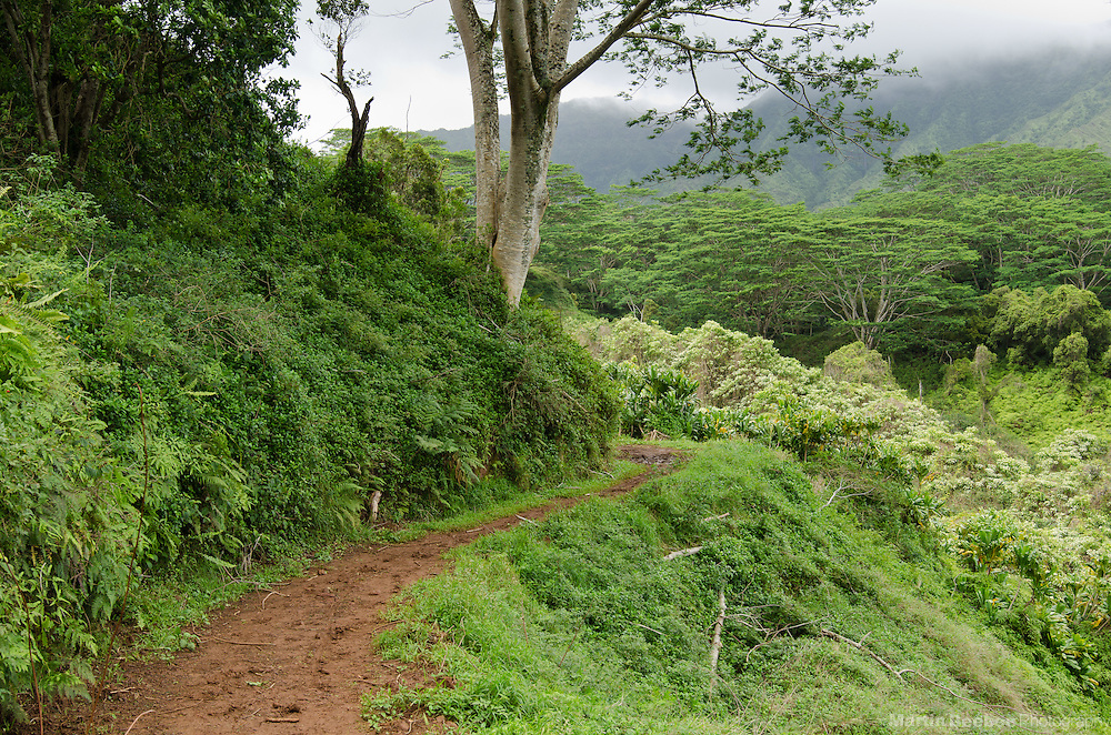 Kuilau Ridge Trail winds through rainforest, Lihue-Koloa Forest Reserve, Kauai, Hawaii