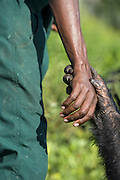 Chimpanzee<br /> Pan troglodytes<br />  Rescued chimpanzee holding hand of caretaker<br /> Ngamba Island Chimpanzee Sanctuary<br /> *Model release available - release # MR_006<br /> *captive