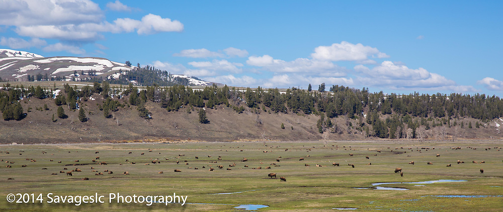 Bison herd. Yellowstone National Park