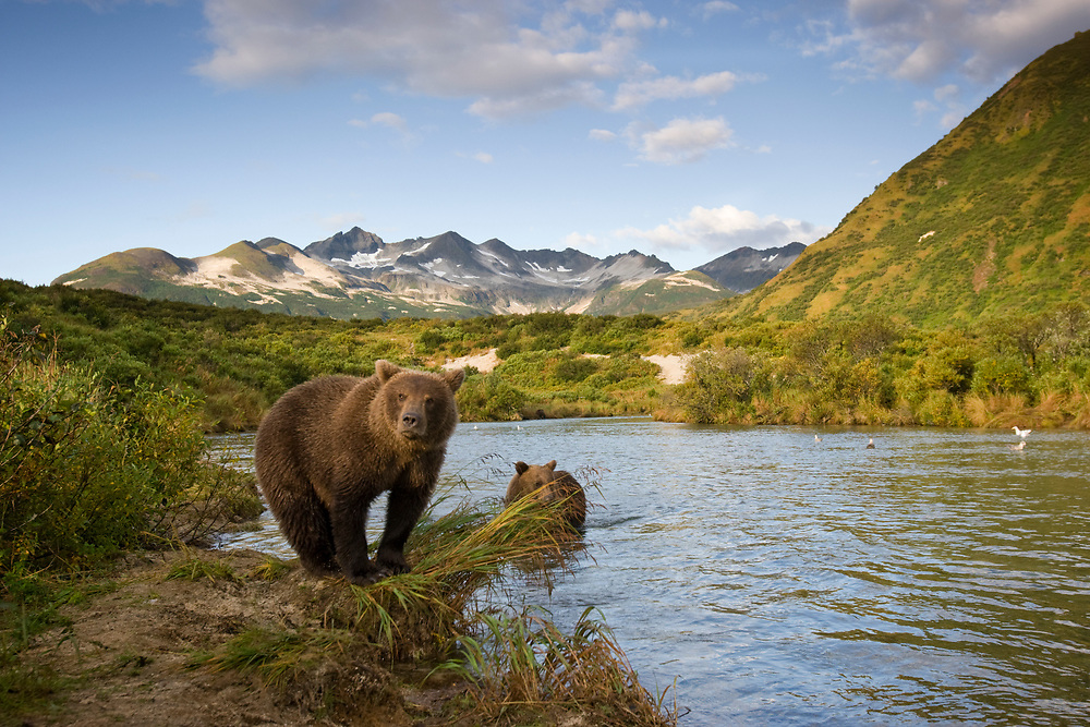 USA, Alaska, Katmai National Park, Kinak Bay, Brown Bear (Ursus arctos) second-year Cubs walking along river banks on autumn morning