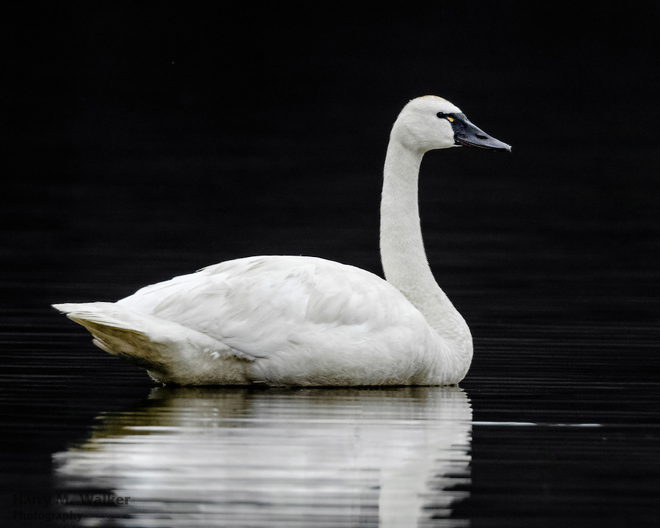 Tundra Swan (Cygnus columbianus) Wonder Lake in Denali National Park Alaska