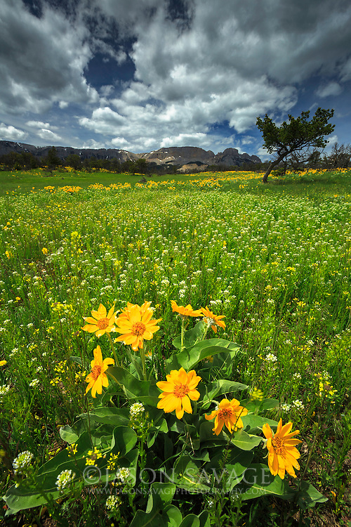 Arrow-leaved Balsamroot fills the foreground at the Sun River Wildlife Management Area. Rocky Mountain Front, Montana.
