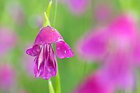 Gladiolus palustris; Gladiolus sp.; Ruggellerriet, Liechtenstein