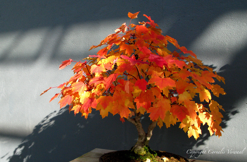 Acer rubrum, 34 years old, Brooklyn Botanic Garden, 2007