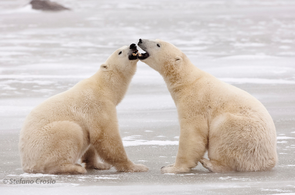CANADA, Churchill (Hudson Bay).Polar bears (Ursus maritimus) interacting