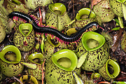 Giant flame legged millipede (Trigoniulus macropygus, about 15 cm long) crawling on pitcher plants (Nepenthes ampullaria) in Kubah National Park,. Sarawak, Borneo