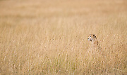 Cheetah in grass, Serengeti National Park