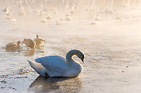 Norway, Stavanger. Mute Swan on Store Stokkavann lake.