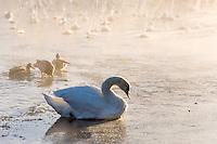Norway, Stavanger. Mute Swan on Store Stokkavann lake.