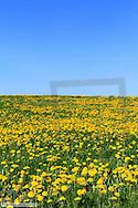 Wiese im Fruehling, gelb bluehender Loewenzahn
