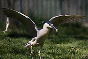 A wild black-crowned night heron feeds on fish thrown to it by zookeepers at the Smithsonian National Zoological Park, Monday, April 10, 2017 in Washington.