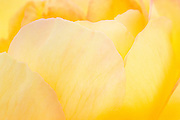 """There are over 100 species of the rose, which vary widely in color, shape, and climate preference. A rose's color determines its meaning. Red roses signify """"love,"""" pink - """"grace,"""" yellow """"joy"""". This series captures the lines, texture and detail of one rose."""