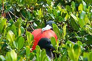 Fregata es un género de aves suliformes, el único de la familia Fregatidae, conocidas vulgarmente como rabihorcados o fragatas. Viven en zonas tropicales de los océanos Pacífico y Atlántico.<br /> Anidan en árboles y arbustos, y los machos atraen a las hembras inflando una bolsa que tienen en la garganta, que parece un globo rojo. Casi nunca se posan en el agua.<br /> Su distribución son las costas pacíficas y Atlánticas de América, de California Baja a Ecuador, incluyendo Galapagos, y de Florida a Brasil.<br /> <br /> ©Alejandro Balaguer/Fundación Albatros Media.