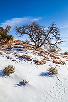 An old tree growing on a snow covered rocky hill under a clear blue sky, Canyonlands National Park, Island in the Sky, Utah, USA.