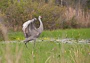 Okefenokee Sandhill Crane