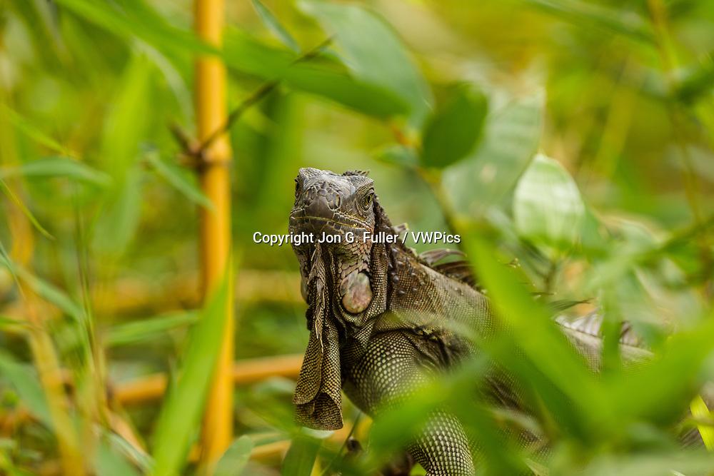 A large adult Green Iguana, Iguana iguana, in a tree in the rainforest in Costa Rica.