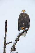 A bald eagle (Haliaeetus leucocephalus) rests on its snow-covered perch along the Skagit River in Washington state during a winter storm. Several hundred eagles spend the winter along that river, feasting on spawned out salmon.