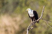 African fish eagle, Zakouma National Park, Chad