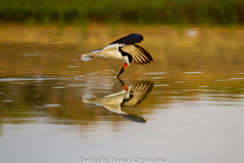 Black Skimmer, Rynchops niger, Bryan Beach, Texas gulf coast, skimming with beak in water, splashing water, reflection,