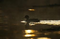 African black Duck (Anas sparsa) in Lake Naivasha, Kenya