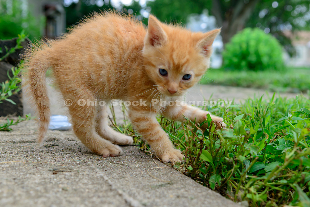 Domestic Shorthair tabby kitten. Columbus, Ohio, USA. July 2014