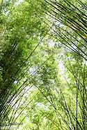 Rio de Janeiro, botanical garden, Jardim Botanico, bamboo, Brazil