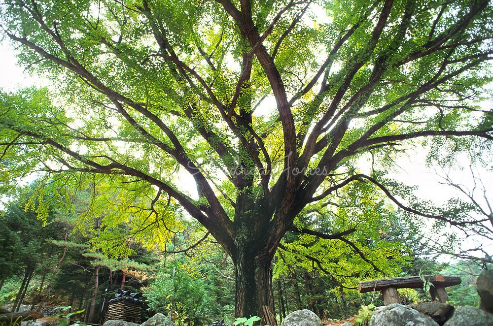Ginkgo biloba (maidenhair tree)<br /> <br /> <br /> photography &copy; Andrea Jones/Garden Exposures Photo Library