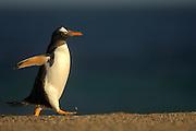 Topform für's Schwimmen: ein Eselspinguin (Pygoscelis papua). Diese knapp 80 cm großen und etwa 6 kg schweren Vögel sind die schnellsten Schwimmer unter den Pinguinen. | The shape of a perfect swimmer: a Gentoo Penguin (Pygoscelis papua). Growing to a size of up to 80 cm and a body mass of 6 kg they are the fastest swimmer of all penguin species. [size of single organism: 75 cm]