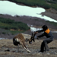 Russia, Magadan District, Koryuk reindeer herder struggle with reindeer during spring antler harvest on Taigonosk Peninsula