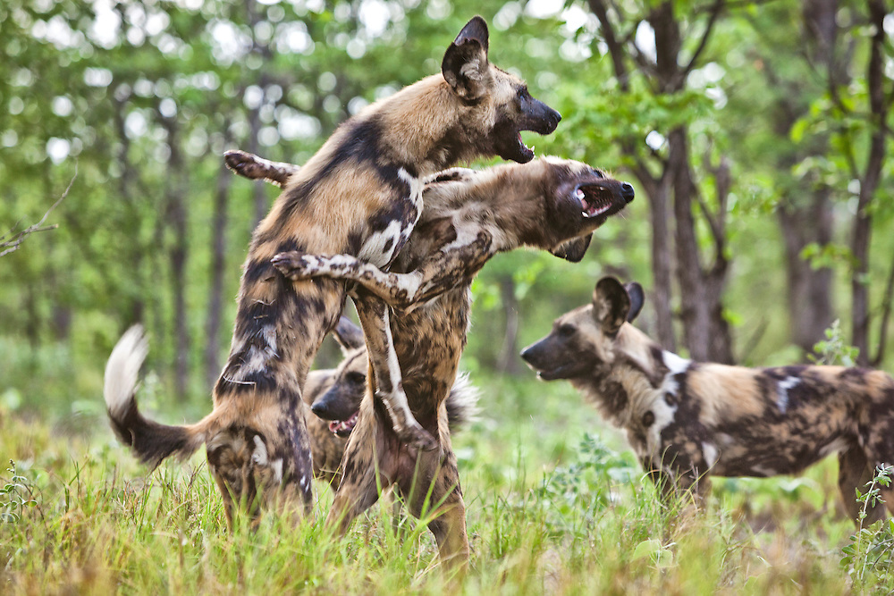 African wild dogs playing.  Zimbabwe