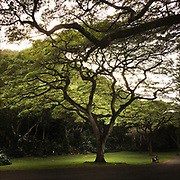Monkeypod Trees, Oahu, Hawaii
