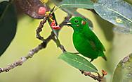 Glistening-green Tanager (Chlorochrysa phoenicotis). El Queremal, Valle del Cauca