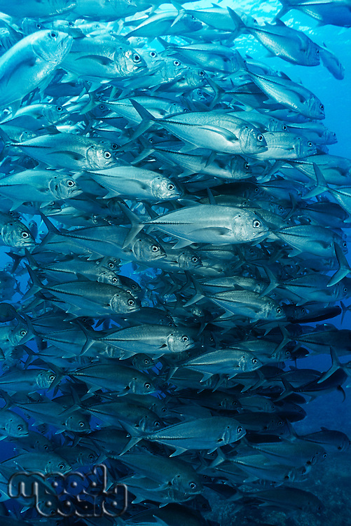 Large school of bigeyed trevally fish
