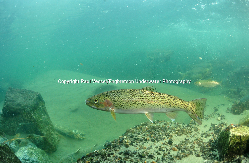 Coastal Cutthroat Trout<br />