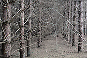 dense cultivated pine tree forest close up